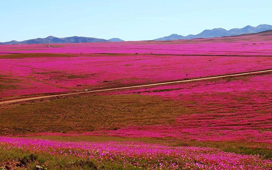 Huasco, el destino favorito para visitar el desierto florido.