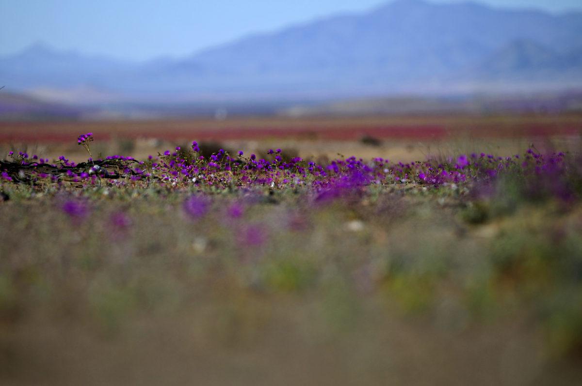 14 de Septiembre de 2014/COPIAPO Flores Pata de Guanaco en el desierto de Atacama. El desierto florido es un fenómeno que se produce en el desierto de Atacama (Chile), el más árido del planeta. Consiste en la aparición de una gran diversidad de flores entre los meses de septiembre y noviembre en aquellos años en que las precipitaciones son inusuales (sobre el rango normal para el desierto). El fenómeno es único en el mundo y ocurre cuando las lluvias hacen que gran cantidad de semillas y bulbos que se encontraban en estado de latencia germinen al llegar la primavera. FOTO: PABLO VERA LISPERGUER/AGENCIAUNO